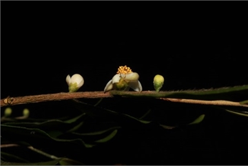 New species of plants found in Lam Dong province