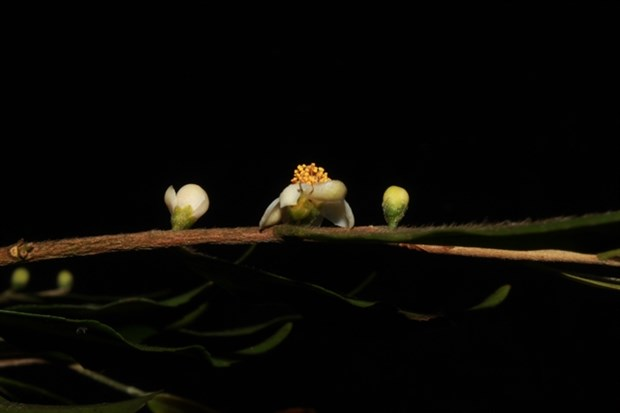 New species of plants found in Lam Dong province hinh anh 1