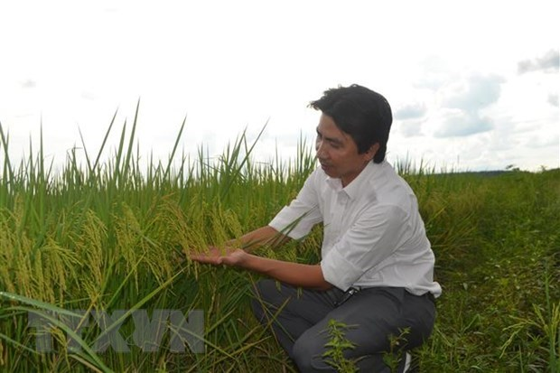 PAN Group entrusted with protection of ST24 and ST25 rice trademarks in int'l markets hinh anh 1
