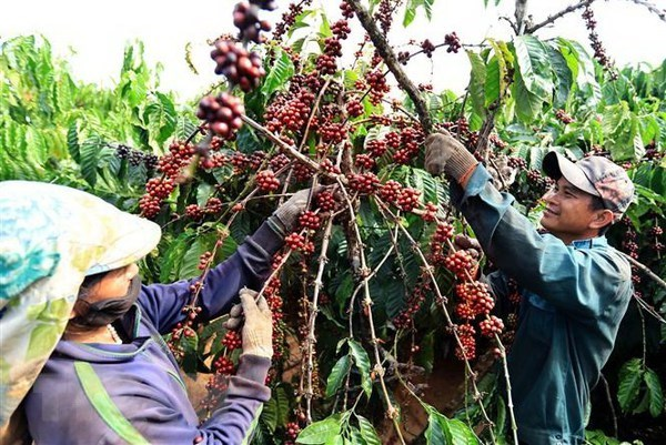 Vietnam's coffee exports to UK drop in H1 hinh anh 1