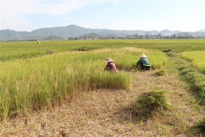 Rice fields in Nghe An province are damaged due to lack of water. Locals use them to feed the cattle (Photo: VNA)