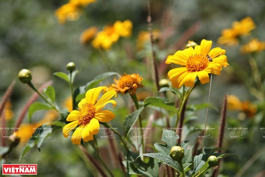 The Chu Dang Ya volcano boasts vibrant wild sunflowers (Photo: VNA)