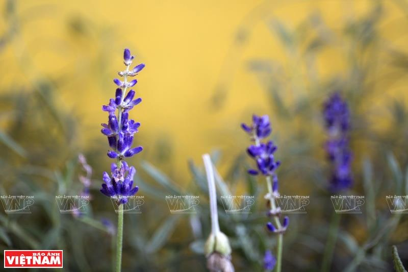 Lavender is one of Perfumery House's popular fragrance (Photo:VNA/VNP)