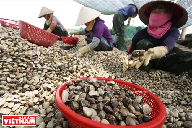 It took only 10 months to grow finger-sized clams into commercial ones, turning a decent profit for clam farmers (Photo: VNA)