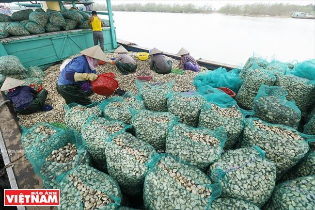 Besides permanent employees, clam farms create thousands of jobs for locals (Photo: VNA)