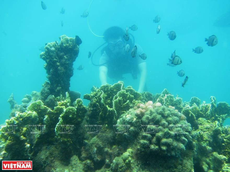Diving to explore coral (Photo: VNA)