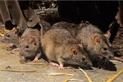 Nơi duy nhất trên Trái Đất con người không phải sống chung với chuột