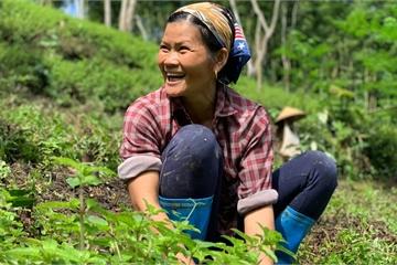 """Cây kỳ lạ ở Cao Bằng, cả làng """"hái"""" ra tiền, chỉ cần mưa xuống lại tốt vù vù"""