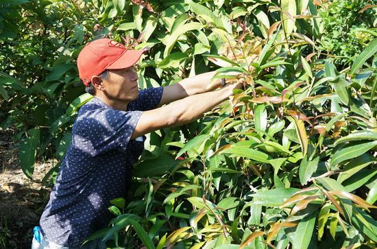 Tây Ninh: Đem thứ cây rừng về vườn trồng như rau, nhà hàng, siêu thị đăt mua tới tấp, nông dân ở đây đổi đời - Ảnh 4.