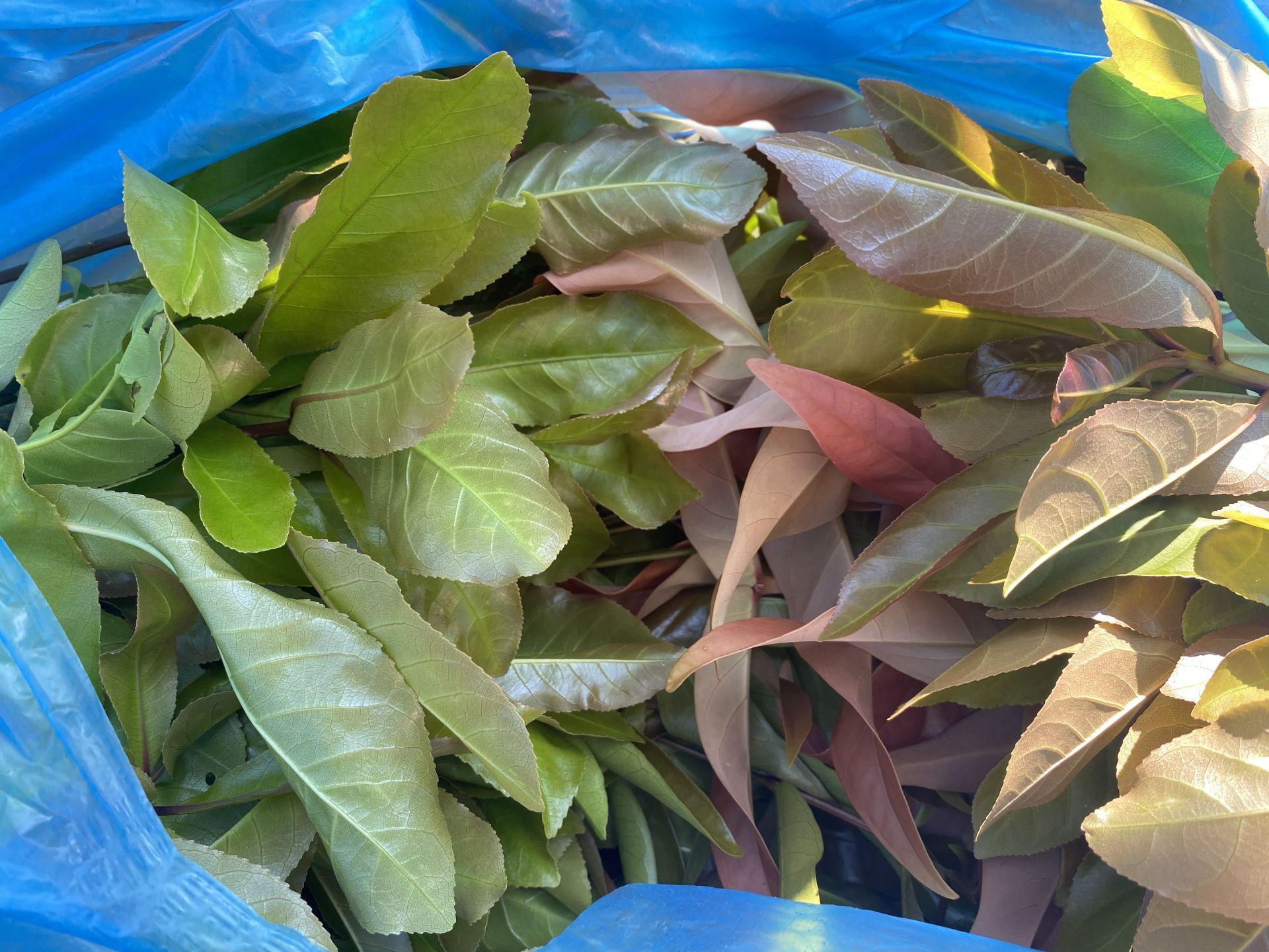 Tây Ninh: Đem thứ cây rừng về vườn trồng như rau, nhà hàng, siêu thị đăt mua tới tấp, nông dân ở đây đổi đời - Ảnh 5.