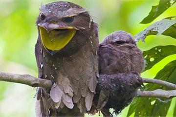 Loài chim kỳ lạ sở hữu mỏ như mồm ếch, là bậc thầy ngụy trang trong tự nhiên