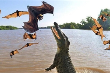 Khoảnh khắc cá sấu bật nhảy lên cao bắt dơi trên cành cây như trong phim
