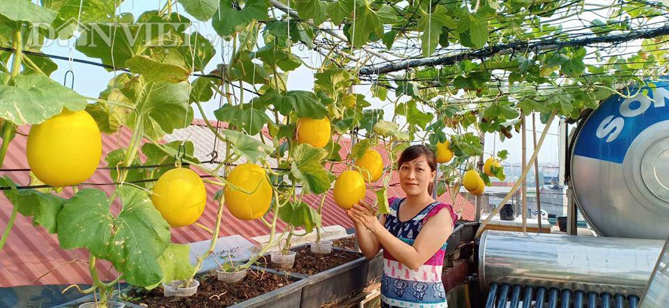 Một phụ nữ ở Hà Nội trồng dưa lưới trên sân thượng, trái nào cũng to bự, mỗi năm thu 3 tạ dưa - Ảnh 1.