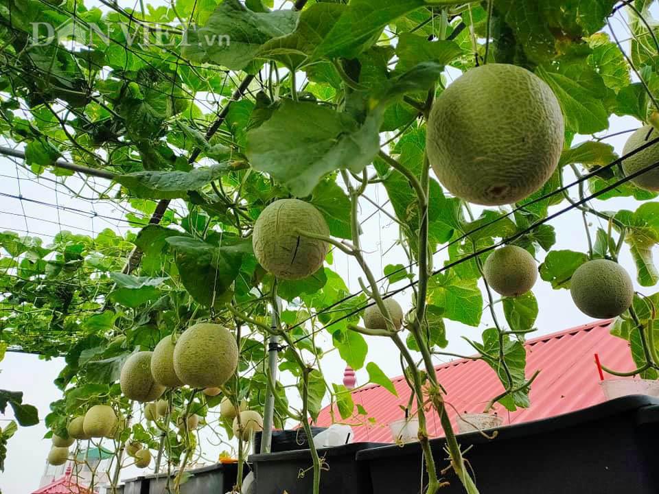 Một phụ nữ ở Hà Nội trồng dưa lưới trên sân thượng, trái nào cũng to bự, mỗi năm thu 3 tạ dưa - Ảnh 2.