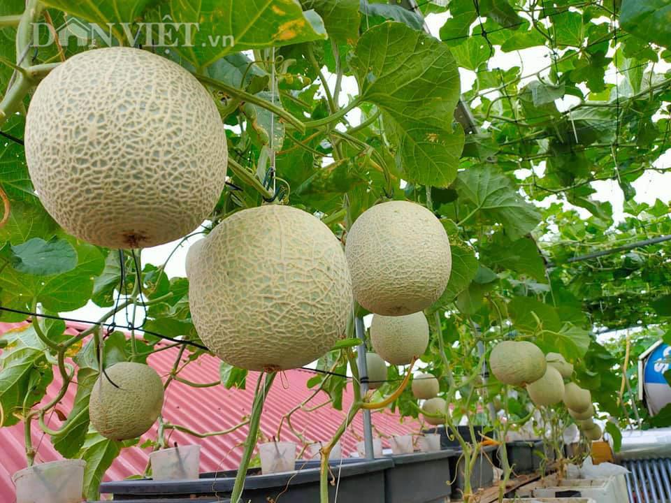 Một phụ nữ ở Hà Nội trồng dưa lưới trên sân thượng, trái nào cũng to bự, mỗi năm thu 3 tạ dưa - Ảnh 3.
