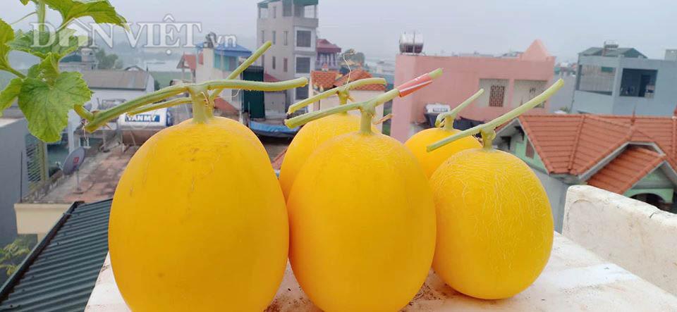 Một phụ nữ ở Hà Nội trồng dưa lưới trên sân thượng, trái nào cũng to bự, mỗi năm thu 3 tạ dưa - Ảnh 6.