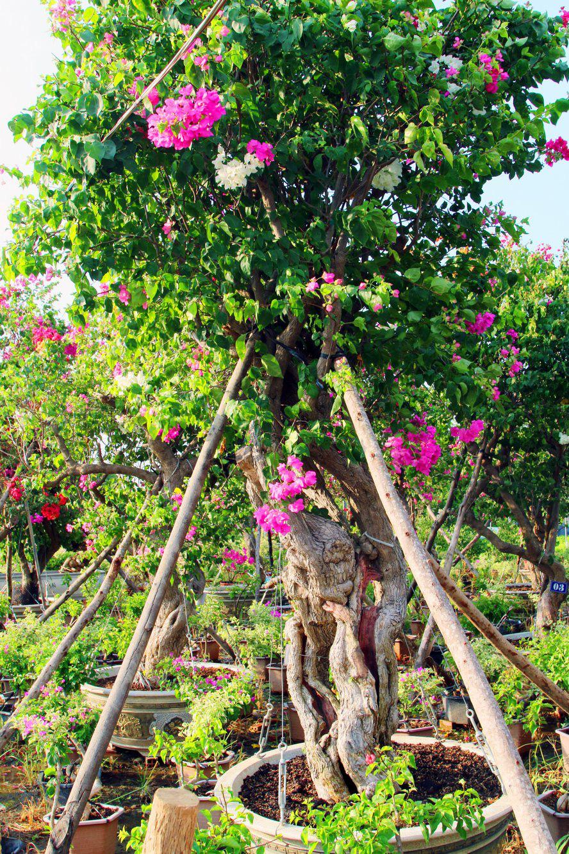 Vườn hoa giấy đa sắc dáng độc, giá trị như kho báu của anh nông dân miền Tây - Ảnh 4.
