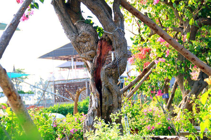 Vườn hoa giấy đa sắc dáng độc, giá trị như kho báu của anh nông dân miền Tây - Ảnh 5.