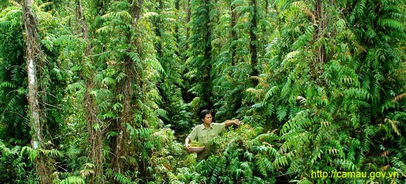"""Cà Mau: Thứ rau rừng ăn chống đói ngày xưa, tên đọc hơi """"đau mồm"""" nhưng nay là đặc sản - Ảnh 1."""