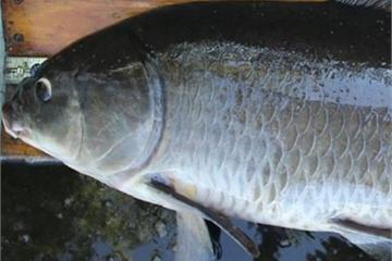 Bắt được 'cụ cá' sống thọ 112 năm tuổi