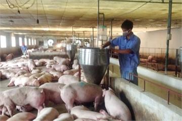 Nghịch lý giá thức ăn chăn nuôi tăng, thịt lợn hơi giảm mạnh