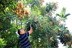 Hung Yen province enters longan harvest season