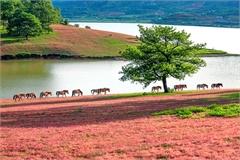 Experiencing Lang Biang pink grass plateau