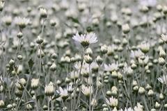 Hanoi's beauty in season of pure-white daises