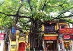 Banyan trees beat Hanoi's summer heat