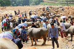 Unique buffalo market in northern mountainous commune
