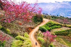 'To day' flowers greet spring in Mu Cang Chai