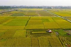 Ripening rice season in the sweltering summer sun