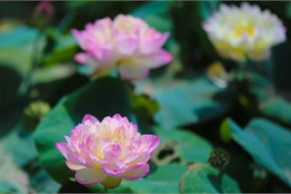 Getting lost in the paradise of nearly 200 varieties of lotus in Hanoi