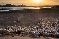 Beautiful sheep farm in central Vietnam