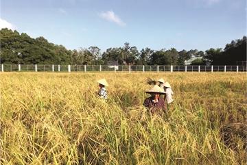 Seasonal organic rice revival in Mekong Delta