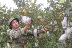 Ép đất cằn cho những mùa quả ngọt, mỗi năm chàng trai xứ Thanh thu gần nửa tỷ đồng