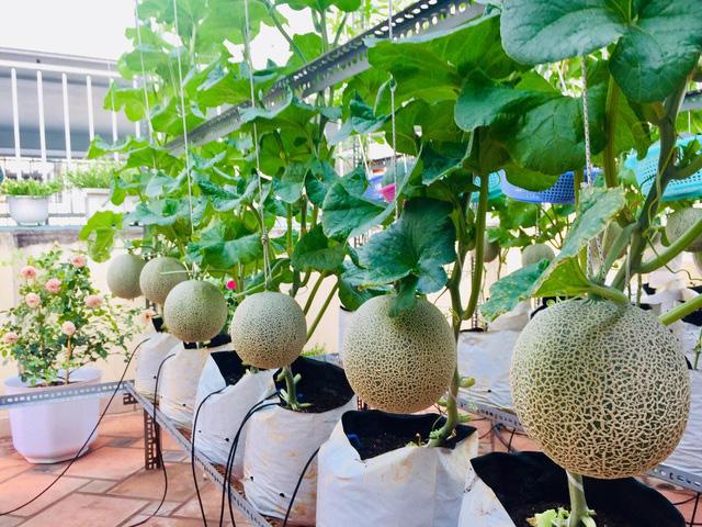 Trồng 50 gốc dưa trên vườn sân thượng, cô gái Sài Gòn bội thu quả - Ảnh 2.