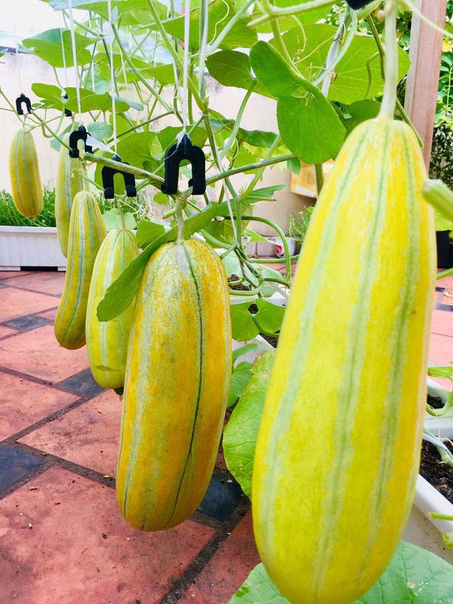 Trồng 50 gốc dưa trên vườn sân thượng, cô gái Sài Gòn bội thu quả - Ảnh 6.