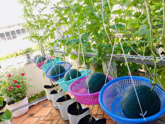 Trồng 50 gốc dưa trên vườn sân thượng, cô gái Sài Gòn bội thu quả - Ảnh 7.
