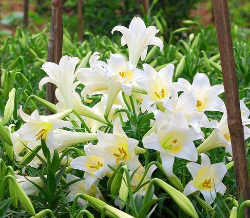 Hoa loa kèn đầu mùa rợp phố Hà Nội, rẻ bằng một nửa năm ngoái nhưng không mấy ai mua - Ảnh 4.