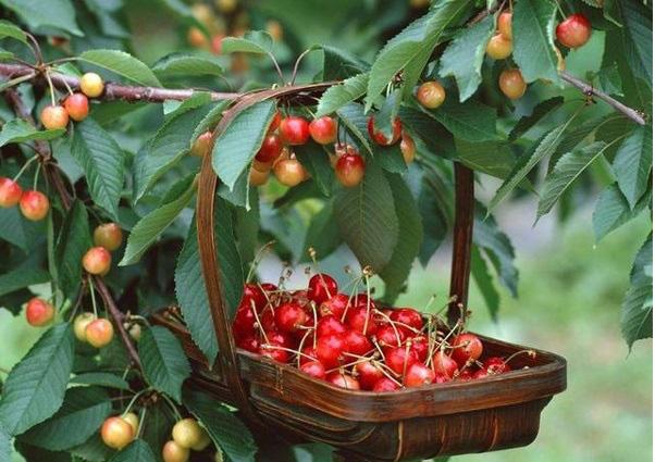 Vị thuốc quý từ hoa quả (3): Loại quả nhỏ xinh ngăn ngừa tiểu đường, giúp ngủ ngon - Ảnh 2.