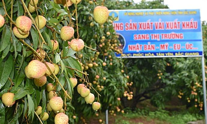 Vải sớm Bắc Giang vận chuyển bằng máy bay giá 35.000/kg cháy hàng ở Sài Gòn - Ảnh 2.