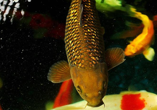 Cá chép thân dài 1m, vảy ánh kim giá 200 triệu đồng - Ảnh 2.