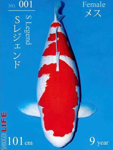 Cá chép thân dài 1m, vảy ánh kim giá 200 triệu đồng - Ảnh 5.