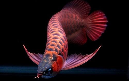 Loài cá đỏ như máu, mang ý nghĩa quyền quý và thịnh vượng được đại gia Việt săn mua - Ảnh 13.