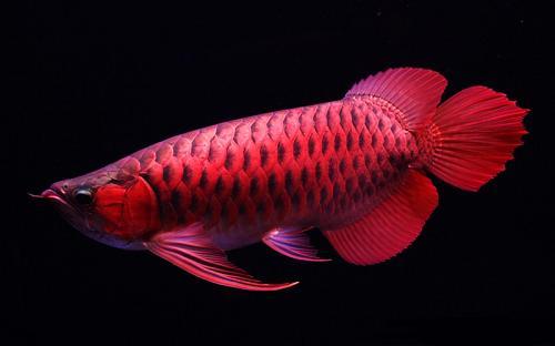 Loài cá đỏ như máu, mang ý nghĩa quyền quý và thịnh vượng được đại gia Việt săn mua - Ảnh 14.