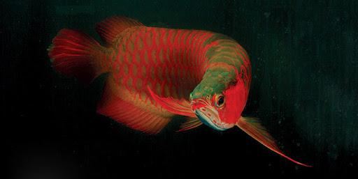 Loài cá đỏ như máu, mang ý nghĩa quyền quý và thịnh vượng được đại gia Việt săn mua - Ảnh 15.