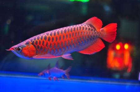 Loài cá đỏ như máu, mang ý nghĩa quyền quý và thịnh vượng được đại gia Việt săn mua - Ảnh 16.