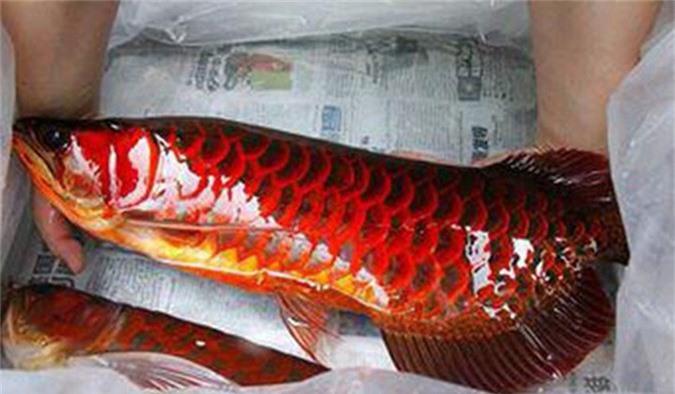 Loài cá đỏ như máu, mang ý nghĩa quyền quý và thịnh vượng được đại gia Việt săn mua - Ảnh 6.