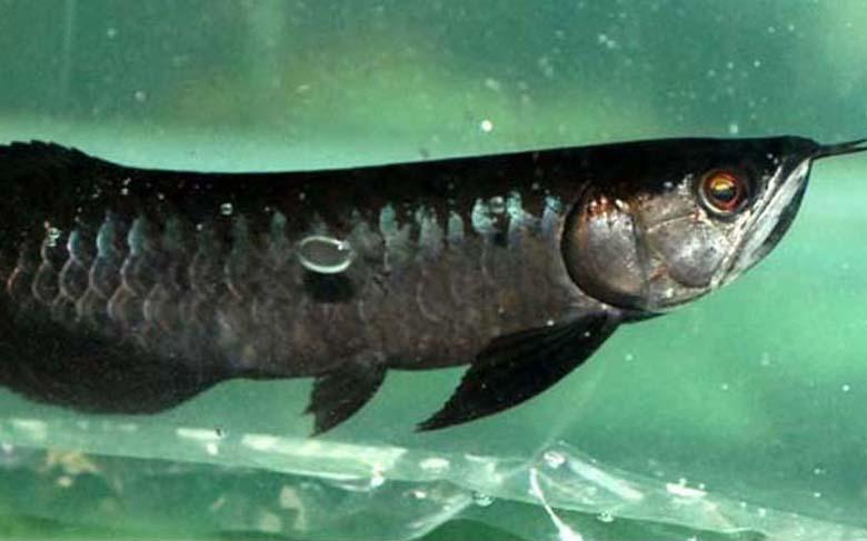 Loài cá đỏ như máu, mang ý nghĩa quyền quý và thịnh vượng được đại gia Việt săn mua - Ảnh 5.
